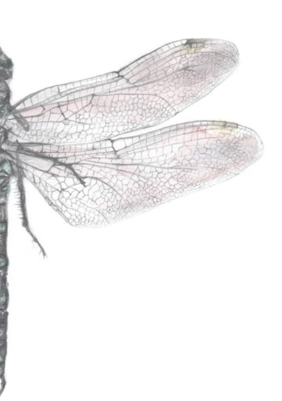 Katie Gammie - Dragonfly - Pencil and watercolour on paper